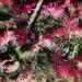 Jardin Japonais Rose