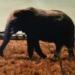 ml_10_ Etosha Park, Majestic Elephant