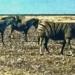 ml_7_ Etosha Park zebras