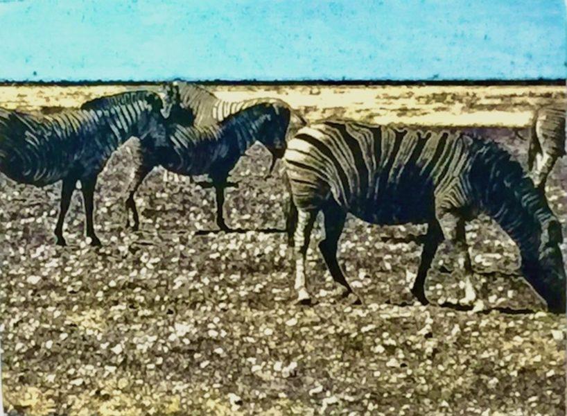 Etosha Park Zebras